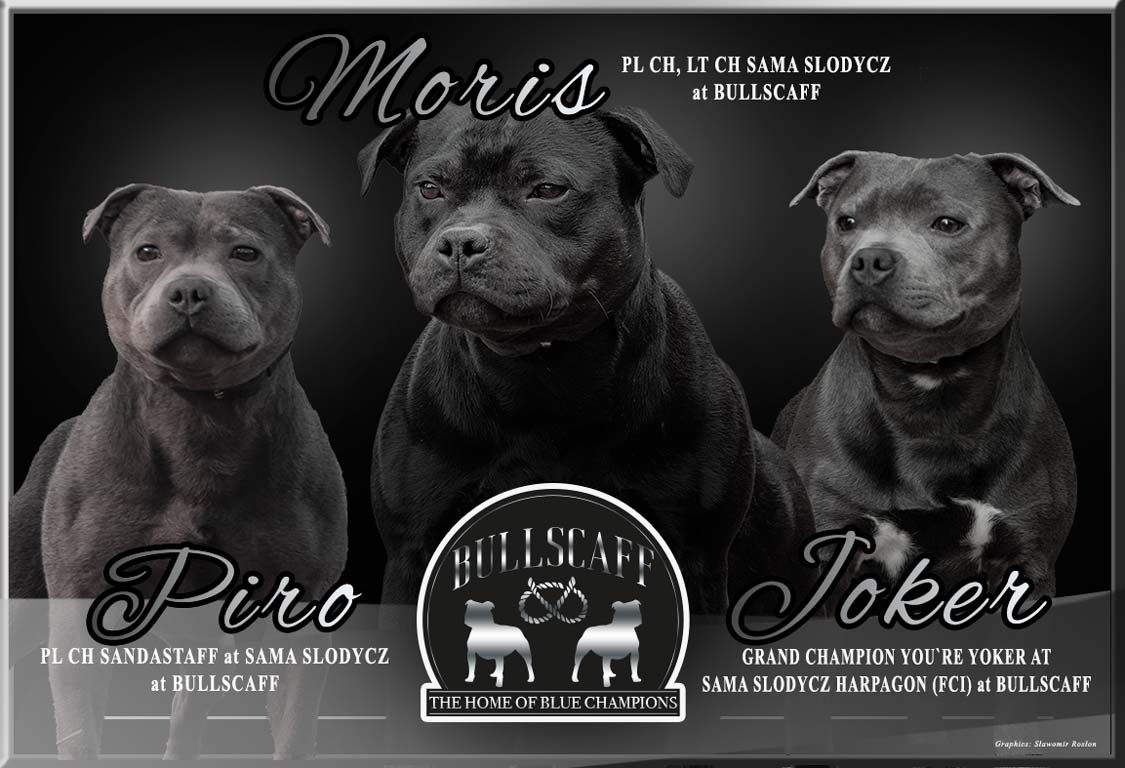 Blue Staffy Stud Dog Provider in UK and Worldwide