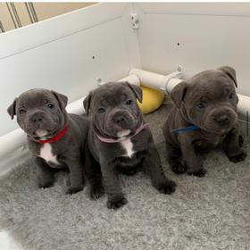 Blue Staffy Stud Dog Provider. AI shipment. Staffordshire terrier puppies 1.