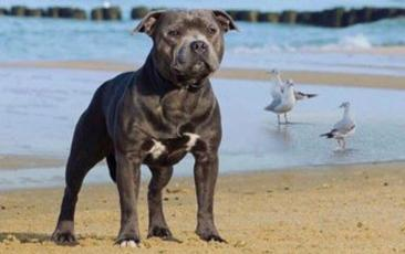 Blue staffy stud dog provider in UK and Worldwide. Staffordshire terriers. Champion You're Yoker
