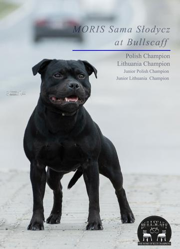 Blue Staffy Stud Dog Provider. Worldwide Staffordshire dog semen shipping. Bullscaff Champion Moris.