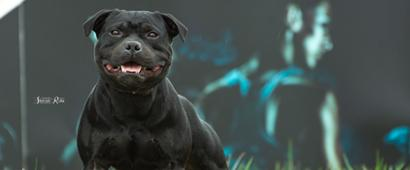 Blue staffy stud dog provider in UK and Worldwide. Staffordshire terriers. Champion Moris