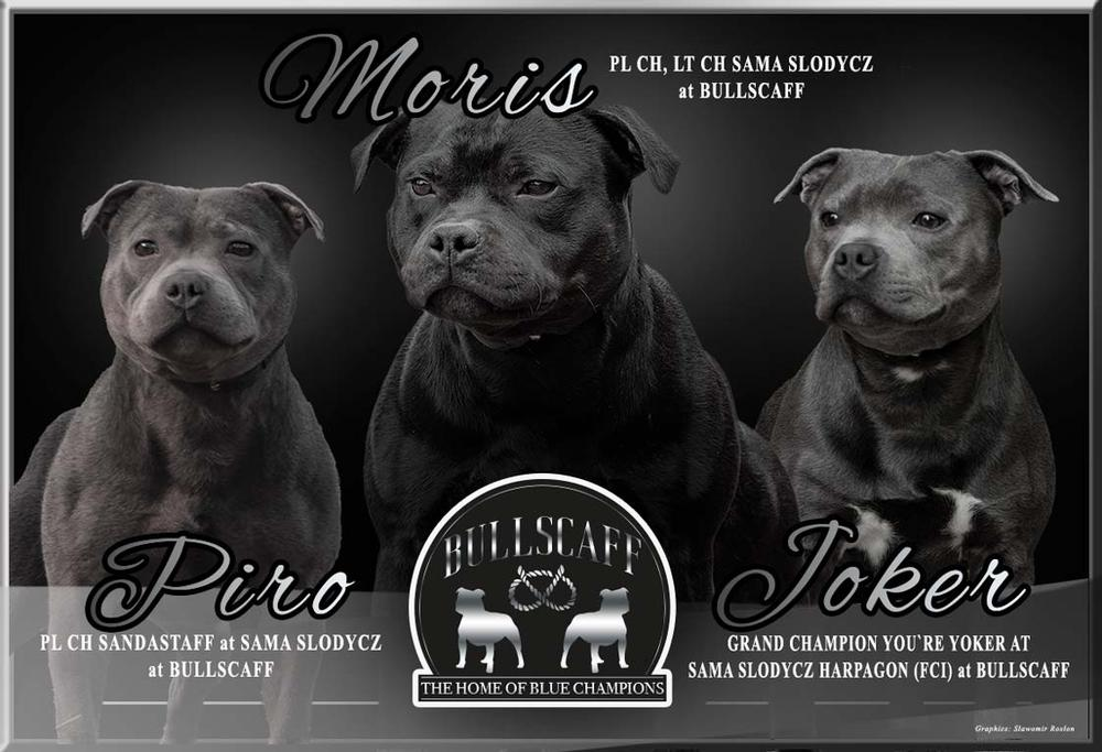Blue Staffy Stud Dog Provider in UK and Worldwide. Bullscaff logo. Champion blue Staffordshire terriers.